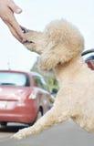 狮子狗 库存照片