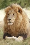 狮子男休息 免版税库存照片