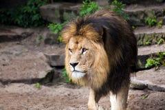 狮子男性在动物园里 免版税库存图片
