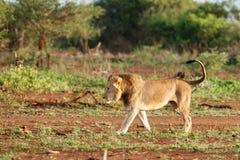 狮子男性在南非 库存图片