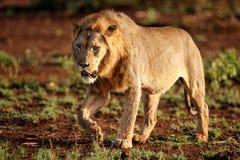 狮子男性在南非 免版税库存照片
