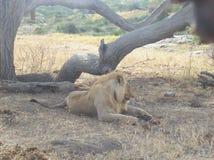 狮子男性在坦桑尼亚 库存图片
