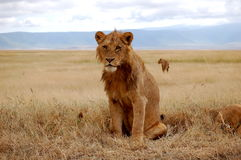 狮子男性年轻人 库存照片