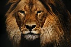 狮子男性特写镜头 免版税库存照片