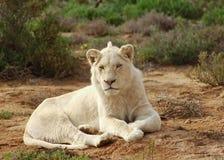 狮子男性白色 库存照片