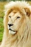 狮子男性配置文件白色 免版税库存照片