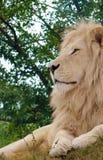 狮子男性配置文件白色 免版税库存图片