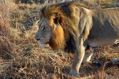狮子男性非洲大草原走 免版税图库摄影