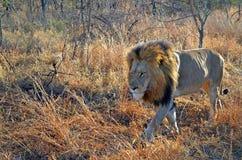 狮子男性非洲大草原走 免版税库存照片