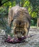 狮子男性 免版税库存图片