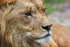狮子男纵向 免版税库存图片