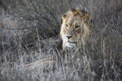 狮子男 免版税图库摄影