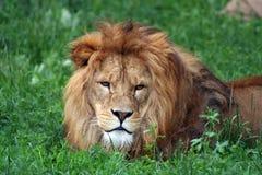 狮子男 免版税库存图片