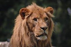 狮子画象 免版税库存照片