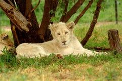 狮子白色 免版税库存图片