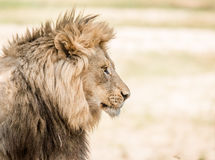 狮子的副配置文件 免版税库存图片