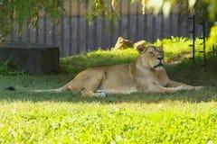 狮子的女性 免版税库存照片