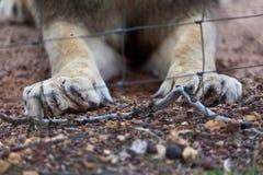 狮子的爪和笼子。 库存照片