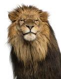 狮子的特写镜头,豹属利奥, 10岁,隔绝在丝毫 免版税库存照片