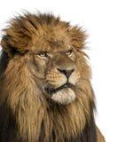狮子的特写镜头,豹属利奥, 10岁 库存照片