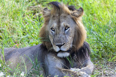 狮子的画象 图库摄影
