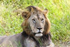 狮子的画象 免版税库存照片