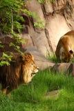 狮子监视 免版税库存照片