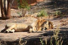 狮子睡眠 免版税库存照片