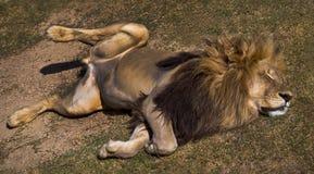 狮子睡觉 库存照片