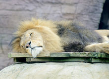 狮子睡觉 图库摄影