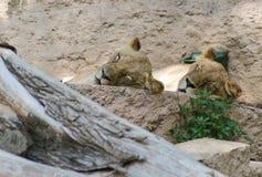 狮子睡觉 免版税库存照片
