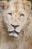 狮子纵向白色 免版税库存照片