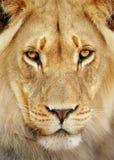 狮子纵向 免版税图库摄影
