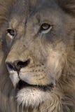 狮子纵向 免版税库存照片