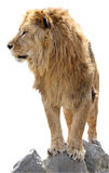 狮子纵向s 库存图片