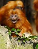 狮子绢毛猴 免版税图库摄影
