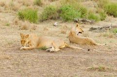狮子自豪感休息 库存照片