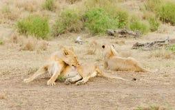 狮子自豪感休息 免版税图库摄影
