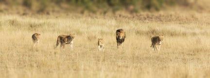狮子自豪感在马塞人玛拉的 图库摄影