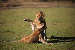 狮子自豪感戏剧战斗[津巴布韦] 库存照片