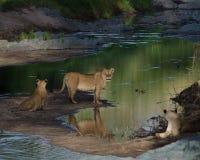 狮子自豪感早晨 免版税图库摄影