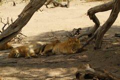 狮子自豪感睡觉 免版税库存图片