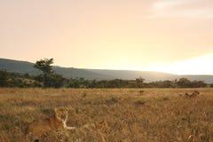 狮子自豪感非洲 免版税库存照片