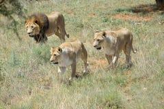狮子自豪感,非洲 库存照片