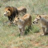 狮子自豪感,非洲 免版税库存图片