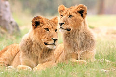 狮子自豪感 免版税图库摄影