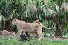 狮子自豪感 库存照片