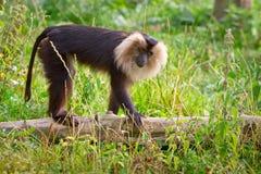 狮子被盯梢的短尾猿猴子 免版税库存照片
