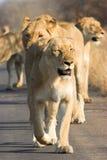 狮子装箱 免版税库存图片
