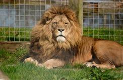 狮子观看摄影师 免版税库存图片